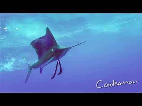 Sailfish Attacking Surface Baits - Epic Footage!