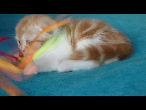 Вопрос: Почему шотландская кошка очень назойлива?
