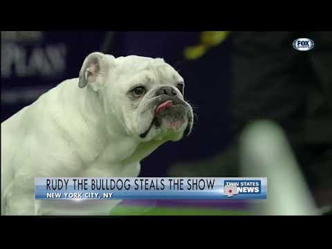 Rudy The Bulldog Steals The Show