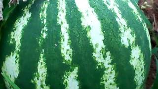 When to harvest Watermellon & Cantaloupe from the vine