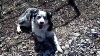 Cattle Dog Working Hereford Cattle