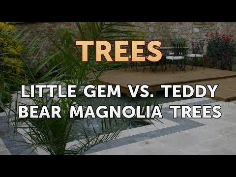 Little Gem Vs Teddy Bear Magnolia Trees Youtube