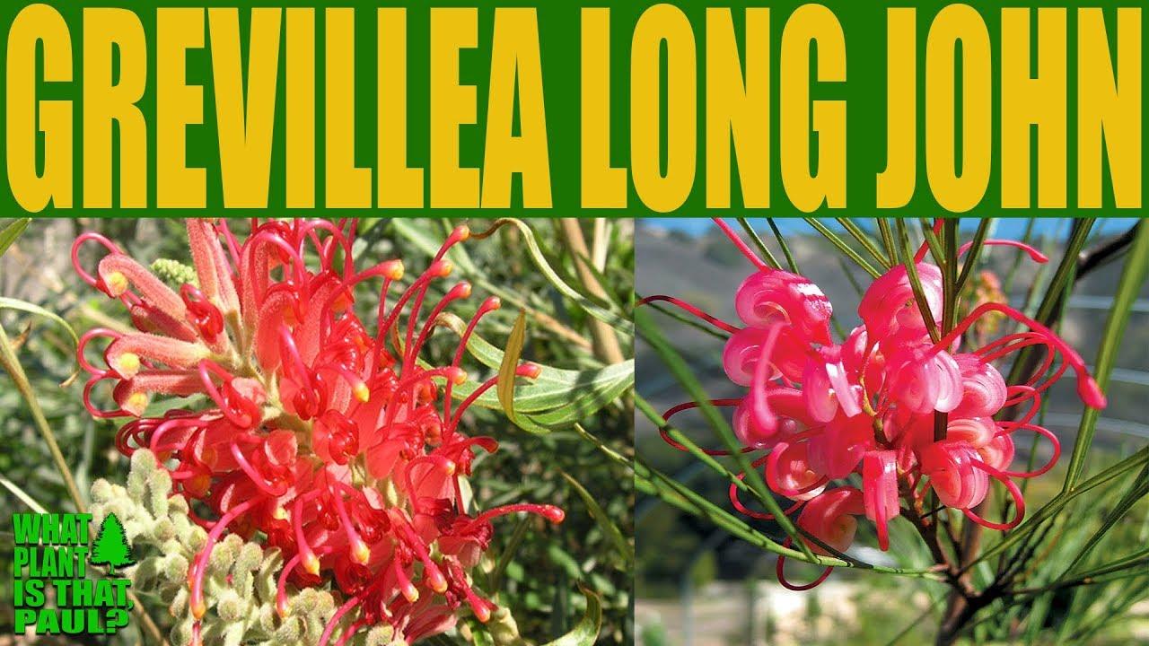 Grevillea Long John A Beautiful Drought Tolerant Plant Youtube