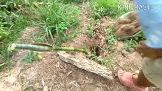 โครงการสวนไผ่ขนาดย่อม/การปลูกไผ่เเบบง่ายๆ EP. 4|เกษตรอินทรี วิถีธรรมชาติ|Easy bamboo planting