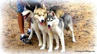 3 Siberian Huskies Our Furry Friends
