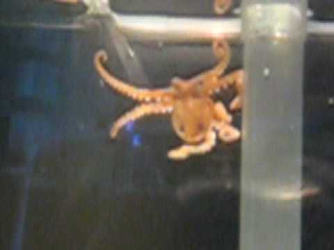 Small octopus in fluva edge fish tank youtube for Octopus fish tank