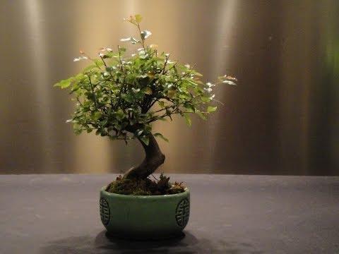 The plant receives an initial Potted Bonsai Tree: Sagarethia