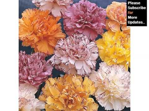 carnation striped fresh flower set of carnation flowers and colors - Carnation Flower Colors