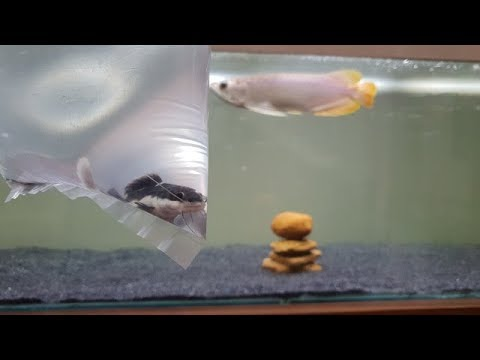 Arowana Fish Community Tank - Add New Redtail Catfish