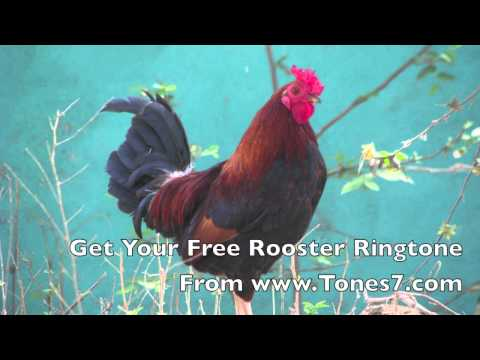 Rooster Ringtone (Free)