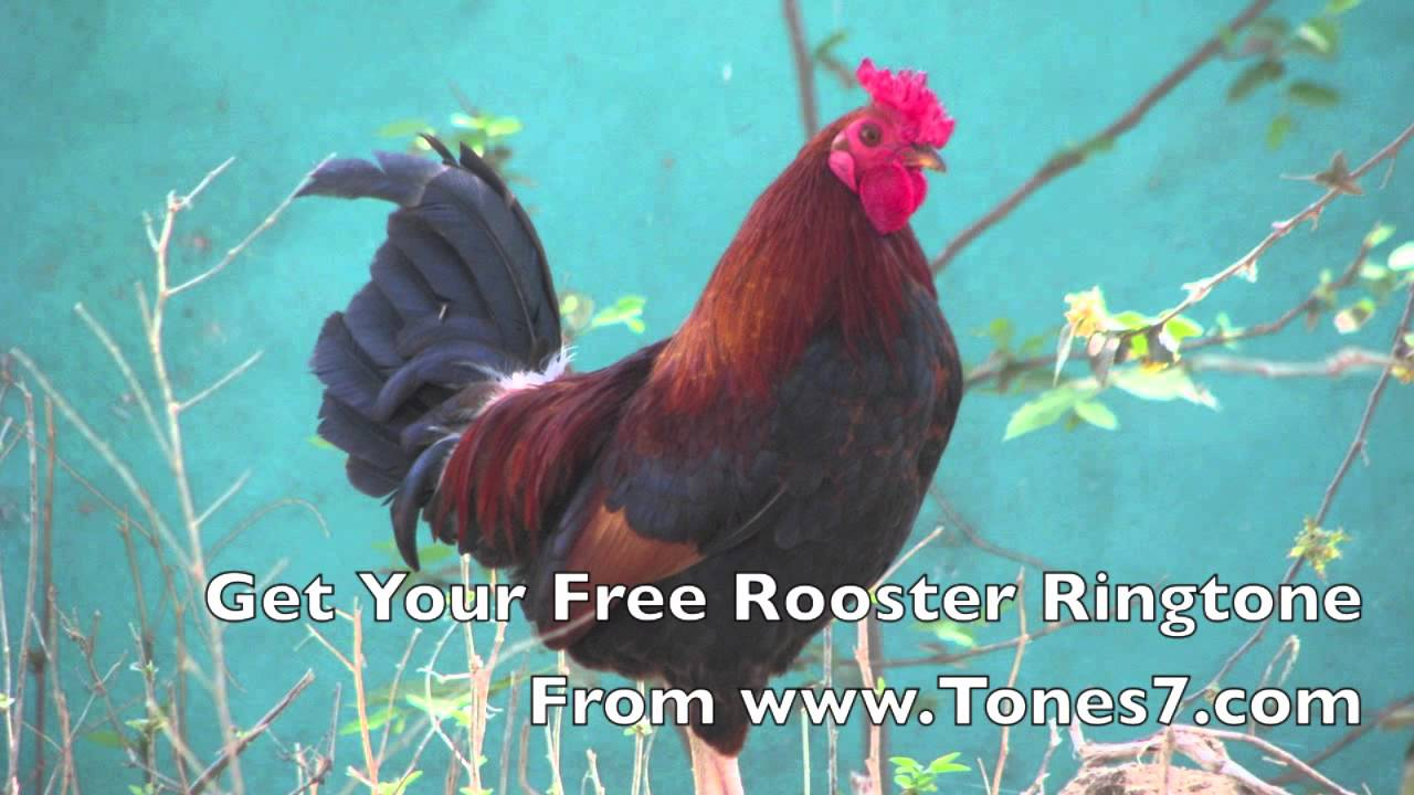 rooster crow ringtone