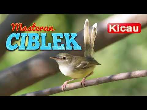 Suara Burung CIBLEK GACOR (Masteran)