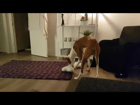IBIZAN HOUND playing with his toy