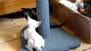 Naughty Mirex Devon Rex kittens.