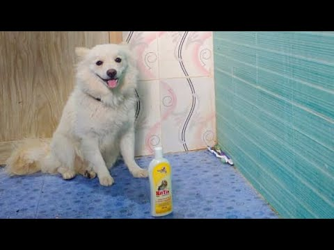 Giving Bath To My German Spitz/Bath Time #germanspitz #pratikshavlogs #dogbathtime