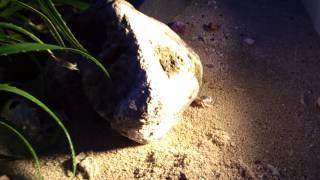 ヤドカリくん Hermit crab