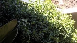 How To Prune Star Jasmine - Trachelospermum jasminoides