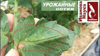 Не пропустите этот симптом на томатах, ведь он замедляет развитие завязей и созревание плодов!