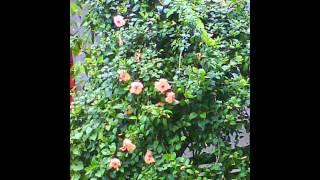 YELLOW CHINA-ROSE.