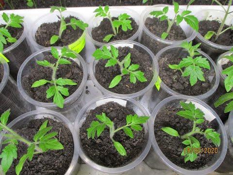 Вопрос: Где должна стоять рассада помидоров после пикировки?