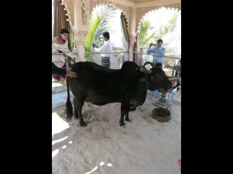 Save cow in HYDERABAD