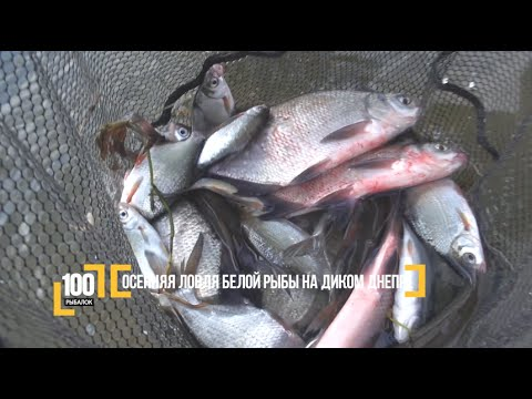 Осенняя ловля белой рыбы на диком Днепре. Авторский Видео блог '100 рыбалок'. 2 серия - Cмотреть видео онлайн с youtube, скачать бесплатно с ютуба