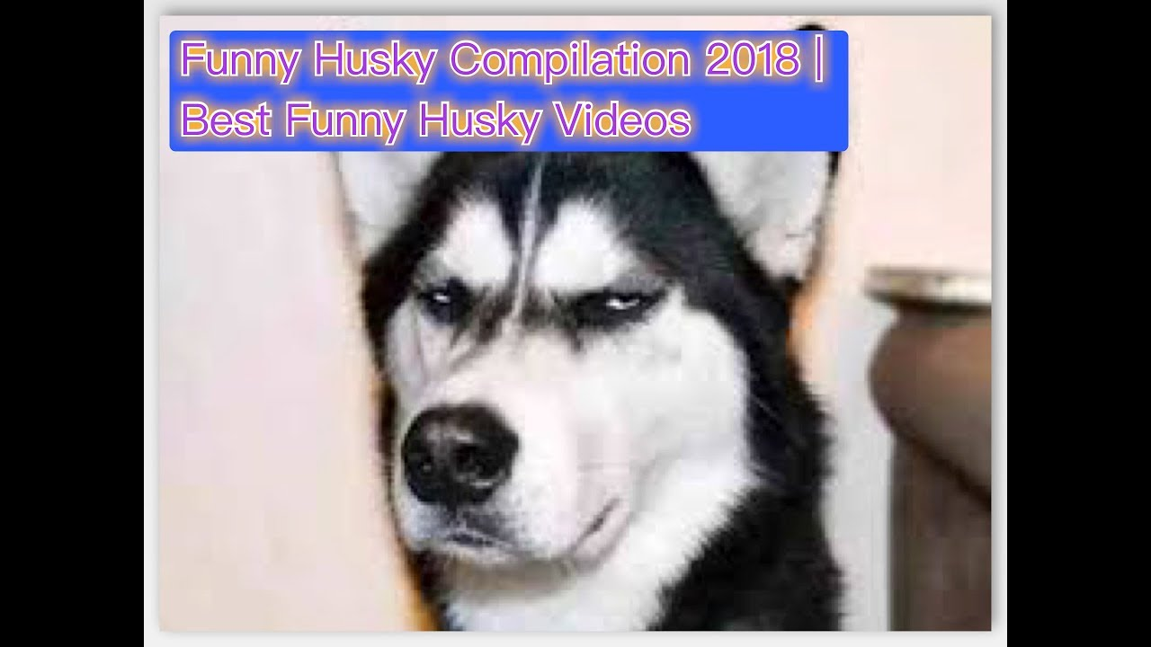 Funny Huskies Compilation 2018 Best Funny Husky Videos Youtube
