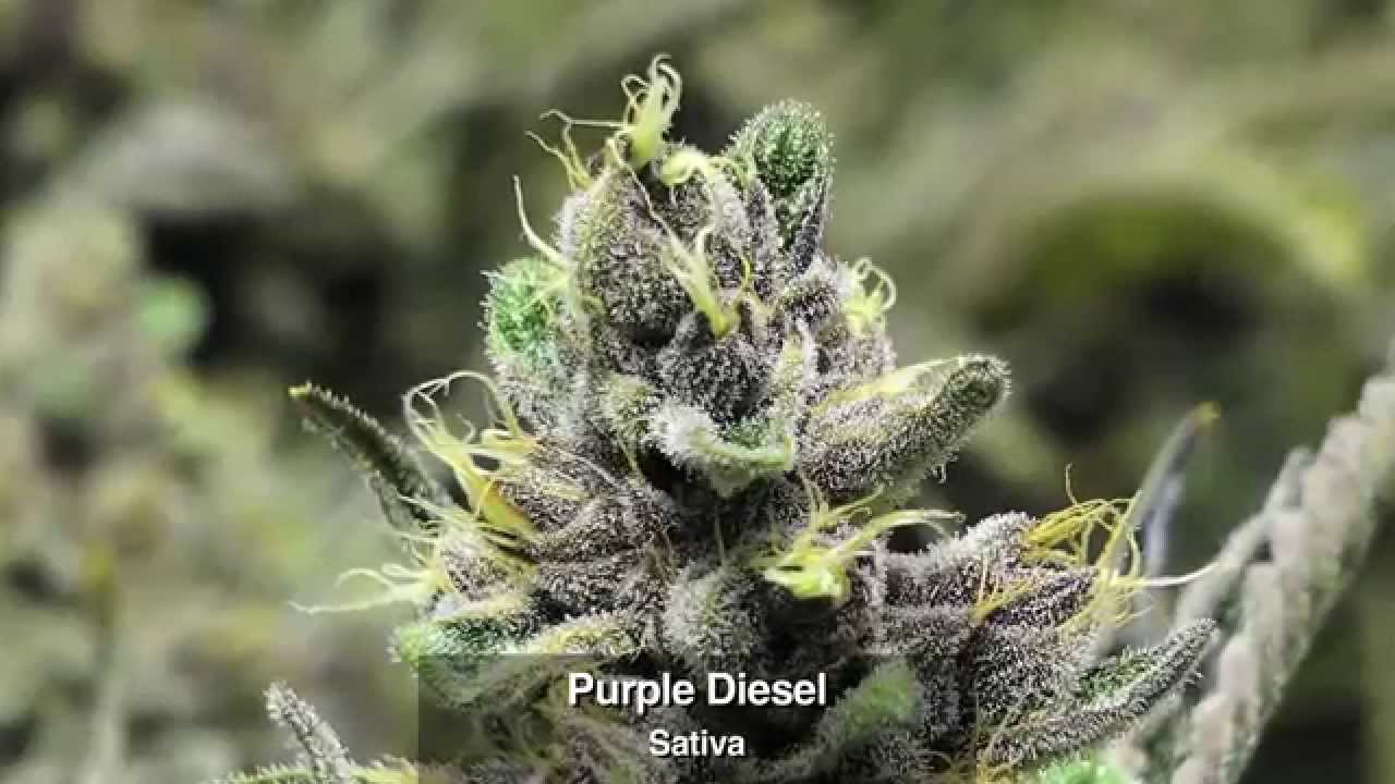 marijuana strains selection from flower power botanicals in a