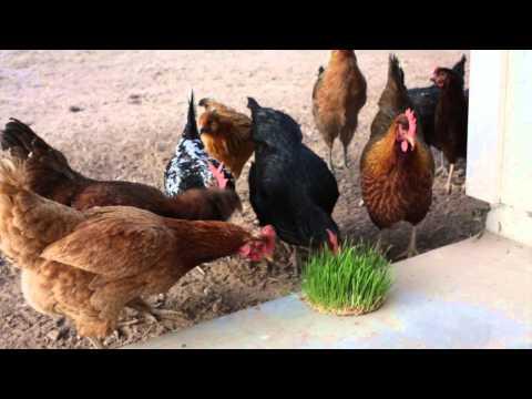 Fodder for Chickens