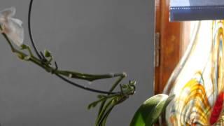 Орхидея на спиральке. Обзор.