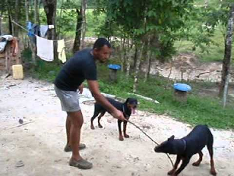 Rottweiler in malaysia