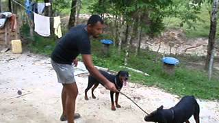 Rottweiler Attacking Man In Malaysia