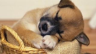 【犬の睡眠用BGM】犬が寝るペット用睡眠BGM Relax   BGM