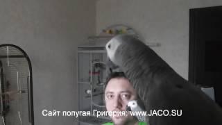 Попугай Григорий: успокойся... ха-ха-ха!