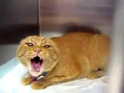Kucing Ngamuk