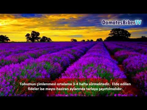 Lavanta Yetiştiriciliği (Lavender Cultivation)