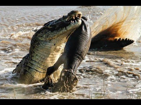 Cá  Sấu Chúa Khổng Lồ - Quái vật đáng sợ vùng đầm lầy Amazon ( Thuyết Minh )