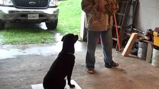 Good Dog Training, Training A Dog To Retrieve Odd Objects 2015