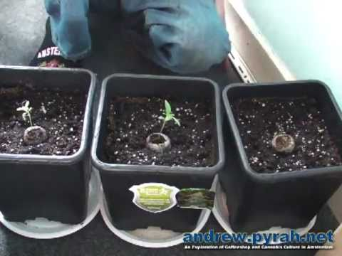 Royal Haze Automatic THE GROW Part 1 Repot The Seedlings