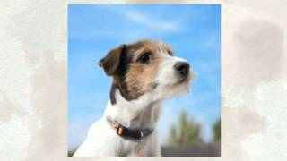 How To Potty Train A Jack Russell Terrier Puppy