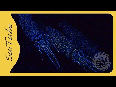 富山湾、ホタルイカの身投げ (Mysterious Lights of Firefly Squid) | Doovi