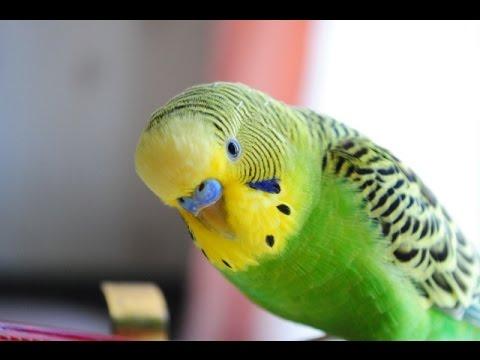 Как определить возраст и пол  волнистого попугая?