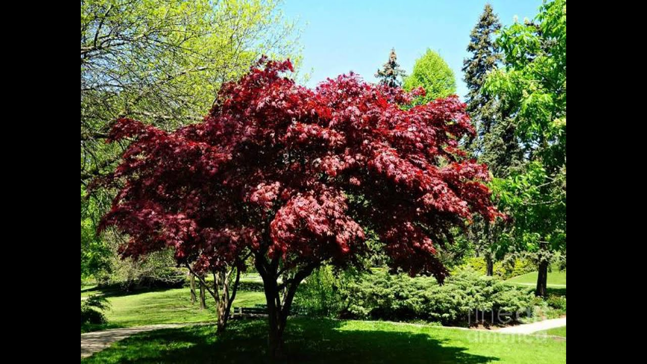 Piante Dalle Foglie Rosse Japanese Maple Tree Best Tree You Have Ever Seen Youtube
