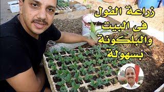 زراعة الفول الاخضر ( الحراتى ) فى البيت والبلكونة ببساطة