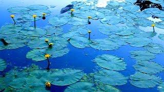 Футаж Пруд с Кувшинками. Листья Кувшинок на Воде. Пруд с Кувшинками Видео. Футажи для видеомонтажа