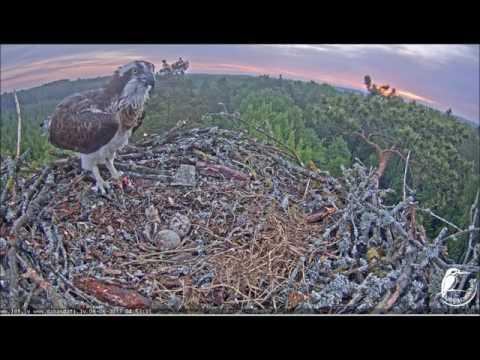 Latvian Osprey Nest Male brings live fish Female feeds chick 1st feeding 4:51am 6-6-2017