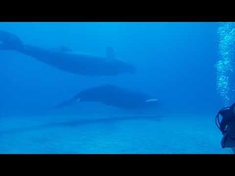Humpback Whale Encounter!! Diving Grand Turk, Turks & Caicos 2020