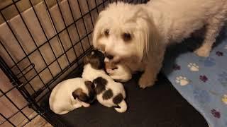 Coton de Tulear Puppies For Sale - Hannah 9/16/21