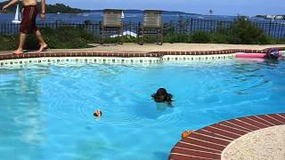 Dog Swimming - Black And Tan English Cocker Spaniel