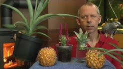 Ananas Babyananas ganz einfach vermehren
